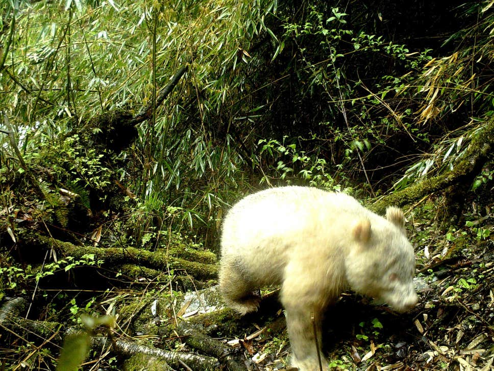 All-White Giant Panda Caught On Camera For The First Time