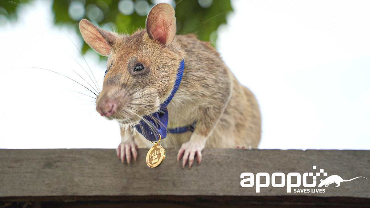 """HeroRAT"" Magawa Receives A Gold Medal For His Incredible Life-Saving Bravery"