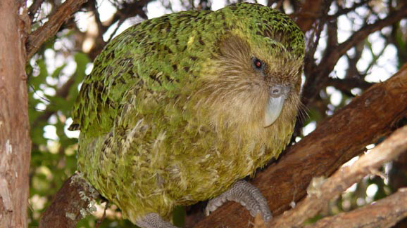 Can Technology Help Save The Kākāpō, The World's Heaviest And Only Flightless Parrot, From Extinction?