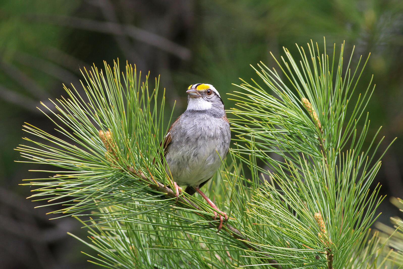 White-Throated Sparrows Across Canada Are Whistling A Catchy New Tune