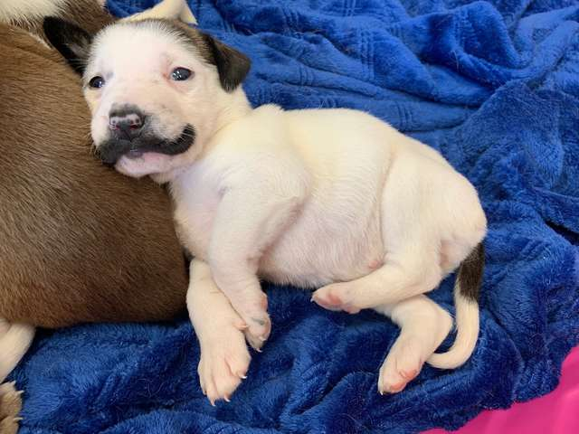 "Adorable ""Mustachioed"" Puppy Salvador Dolly Steals Hearts Worldwide"