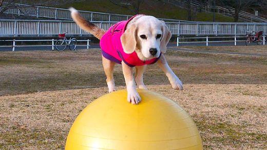 Fastest-10-m-travelled-on-a-ball-by-a-dog_tcm25-421698-medium