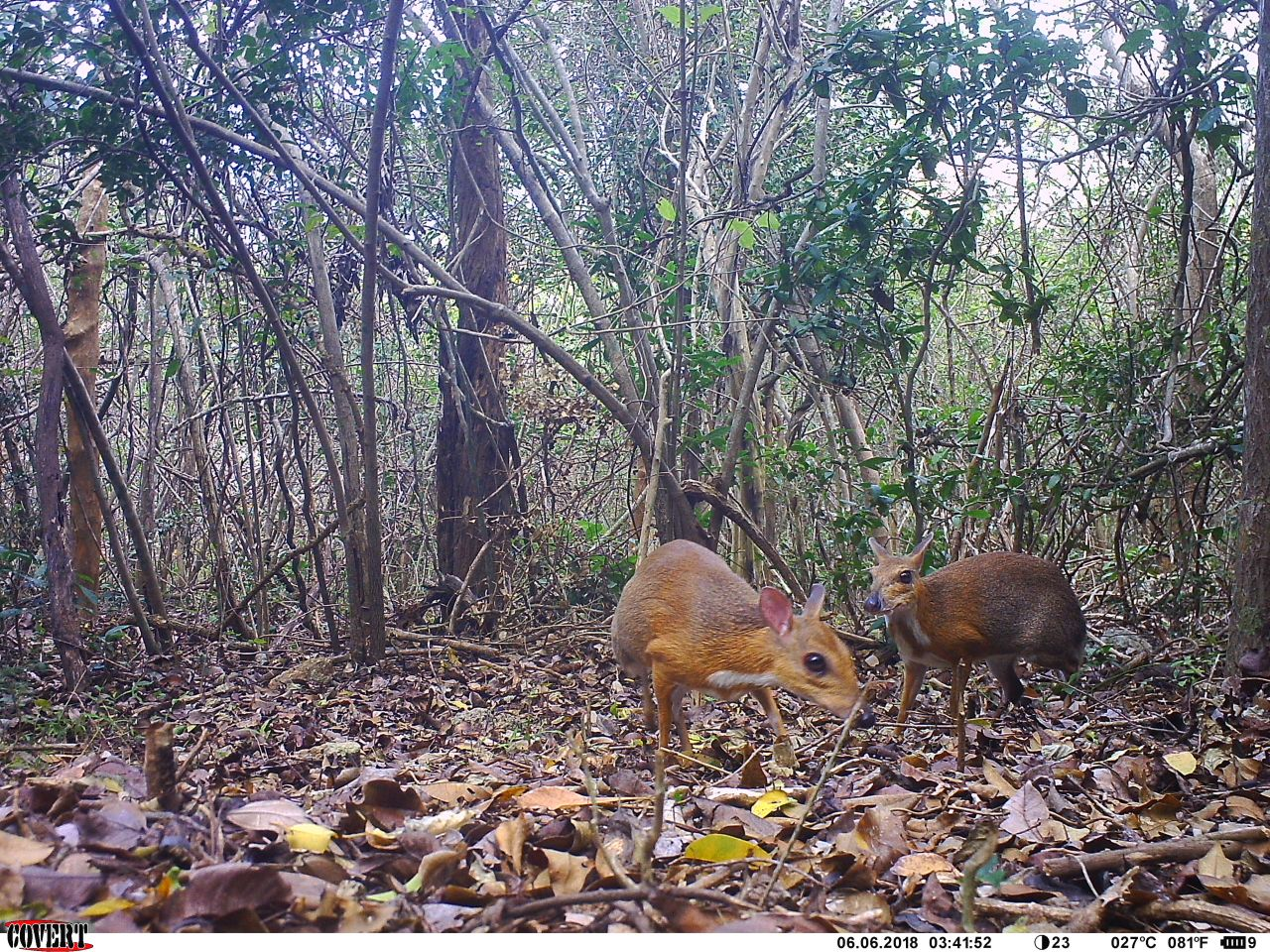 Adorable Vietnamese Mouse-Deer Rediscovered In The Wild After 30 Years!