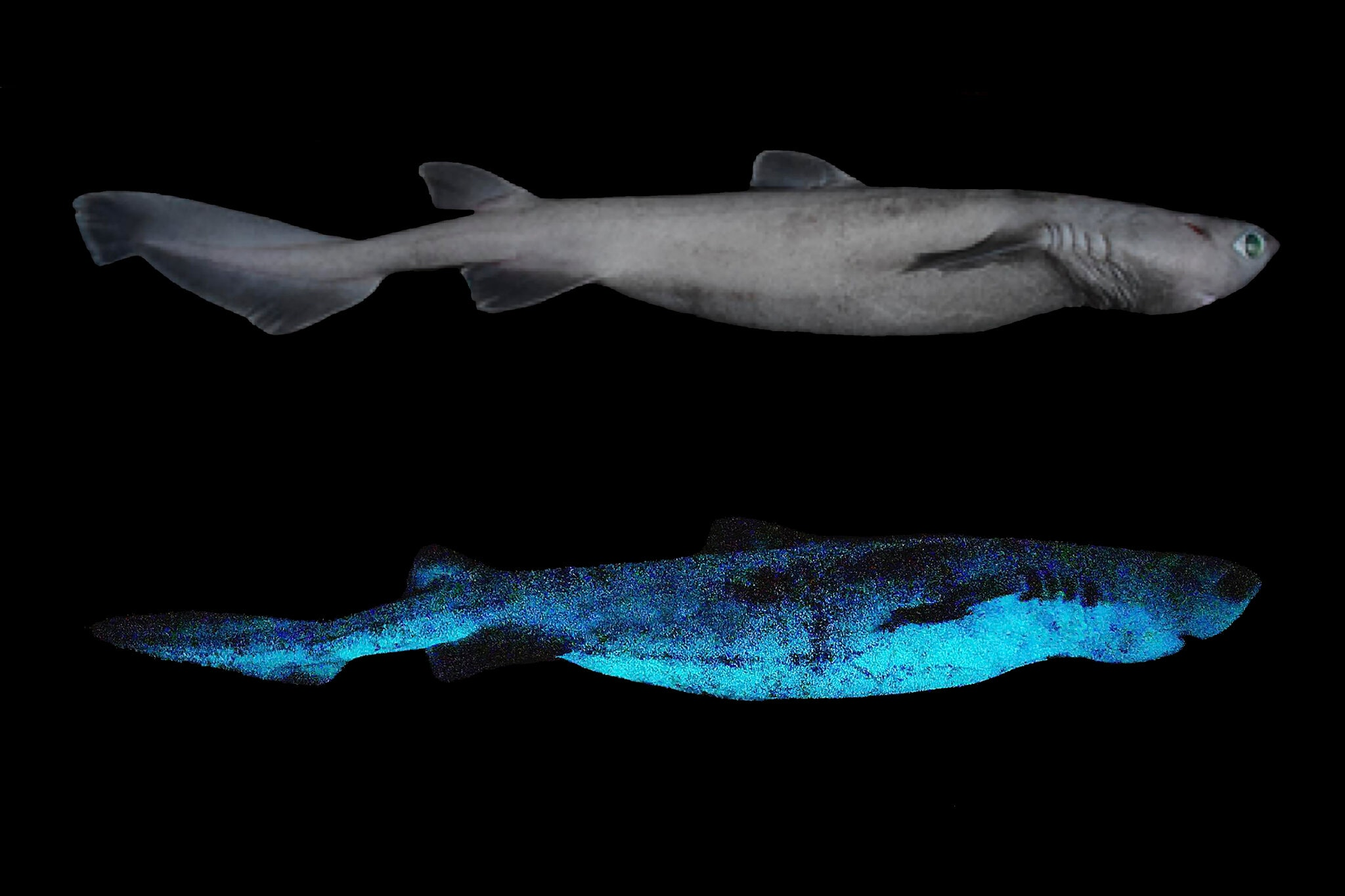 The Kitefin Shark Is The World's Largest-Known Luminous Vertebrate