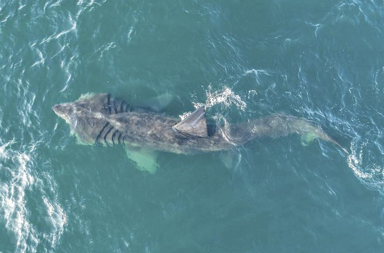 Basking Sharks Return To California Waters After Several Decades