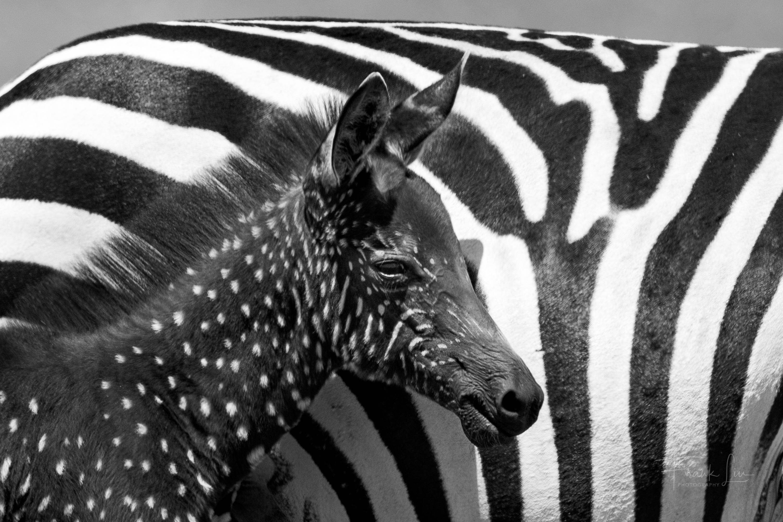Kenya's Masai Mara National Reserve Is Home To An Adorable Polka-Dotted Zebra Foal