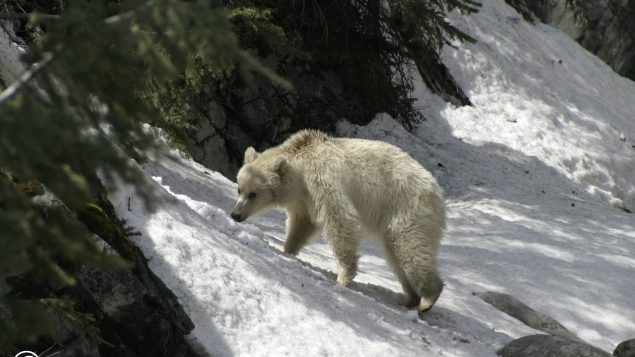 Gorgeous Rare White Grizzly Bear Sighted In Canada