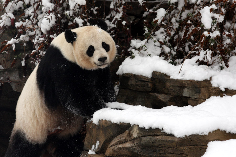 Smithsonian's National Zoo Welcomes A New Giant Panda Cub