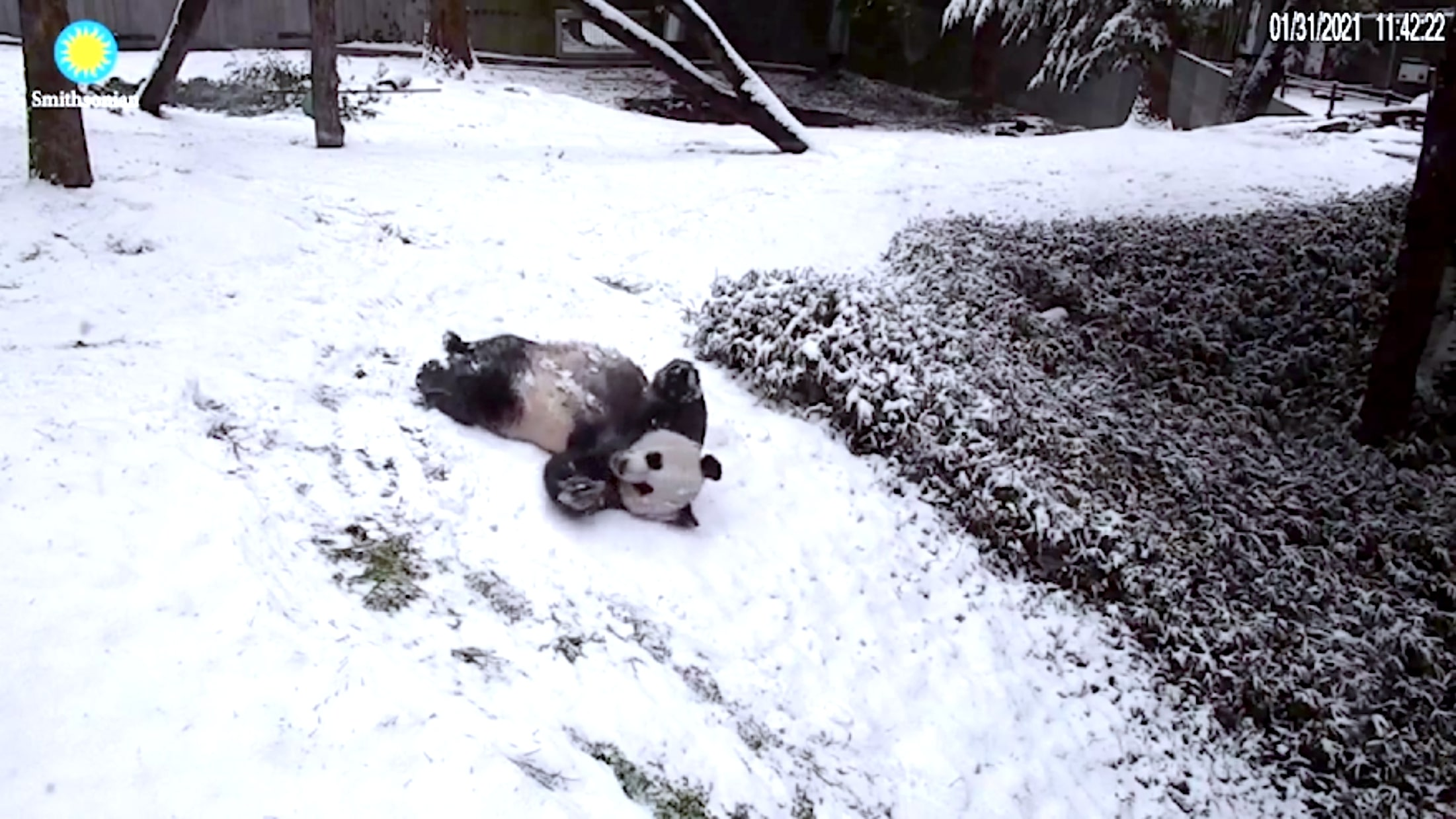 Smithsonian's National Zoo Giant Pandas And Other Animals Enjoy The Snow
