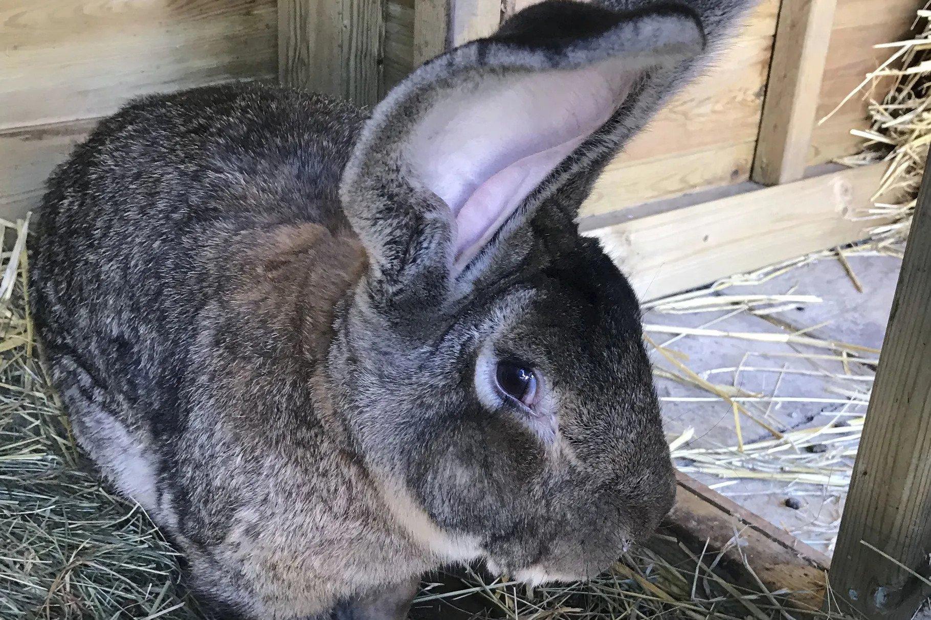 Darius, The World's Longest Bunny, Has Gone Missing!