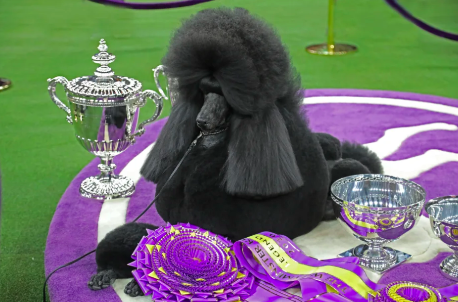 Siba, A Standard Poodle, Crowned Top Dog At Westminster Kennel Club Dog Show