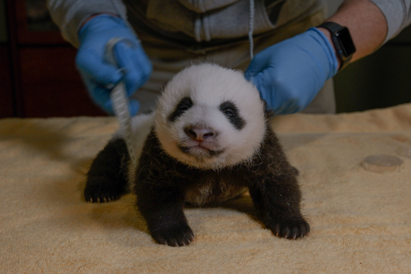 National Zoo's Adorable Giant Panda Cub Is Two Months Old!