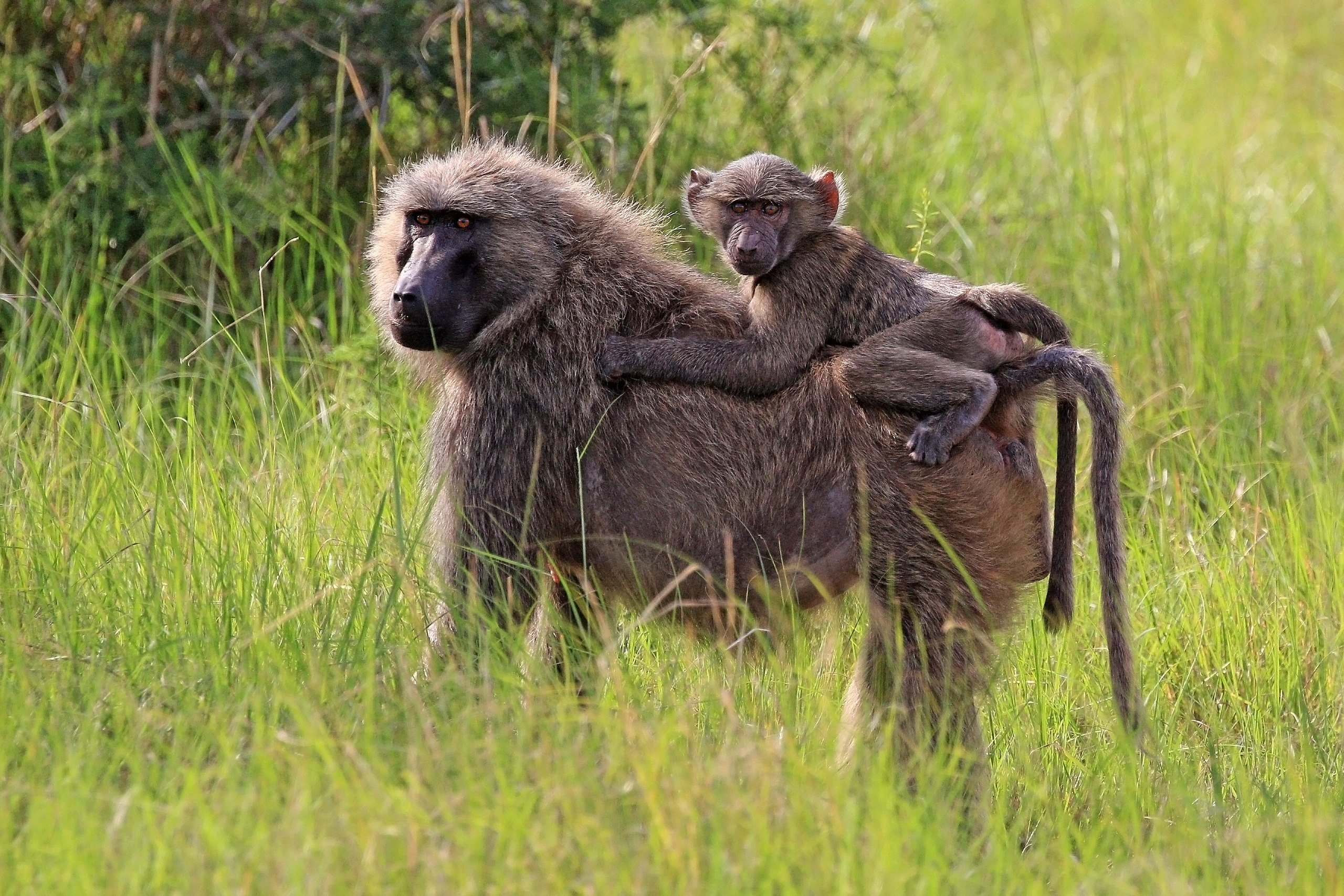South African Baboons Seek Out Private Pools To Beat The Heat